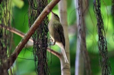 Seychellen-Rohrsänger (Acrocephalus sechellensis)