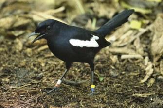 Seychellen-Dajal (Copsychus sechellarum)