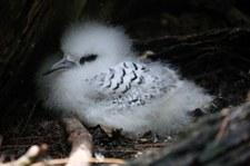 Junger Weißschwanz-Tropikvogel (Phaethon lepturus lepturus) auf Cousin, Seychellen