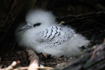 Weißschwanz-Tropikvogel (Phaethon lepturus lepturus)