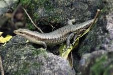 Wrights Skink (Trachylepis wrightii) auf Cousin, Seychellen