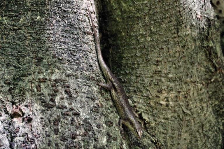 Trachylepis wrightii