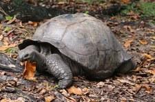 Aldabra-Riesenschildkröte (Aldabrachelys gigantea) auf Curieuse, Seychellen