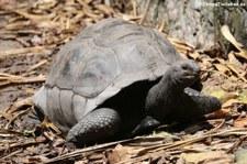 Aldabra-Riesenschildkröte (Aldabrachelys gigantea) auf Praslin, Seychellen