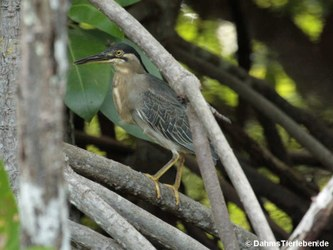 Mangrovereiher (Butorides striata degens)
