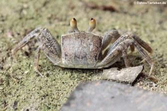 unbekannte Krabbe auf Mahé
