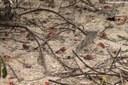 Neosarmatium meinerti