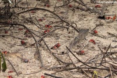 Mangroven Spinnenkrabben (Neosarmatium meinerti)