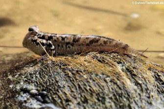 Silberlinien-Schlammspringer (Periophthalmus argentilineatus)