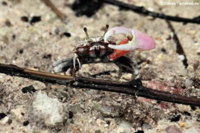 männliche Winterkrabbe (Uca annulipes)