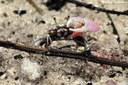 Uca annulipes