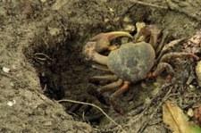 Landkrabbe (Cardisoma carnifex) auf Praslin, Seychellen