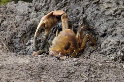 Landkrabbe (Cardisoma carnifex)