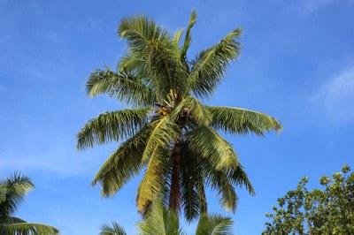 Kokospalme auf Praslin