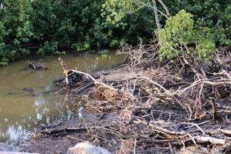 Lebensraum Mangrove