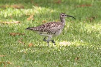 Regenbrachvogel (Numenius phaeopus)