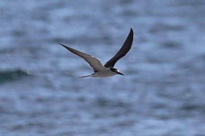 Zügelseeschwalbe (Onychoprion anaethetus antarcticus)