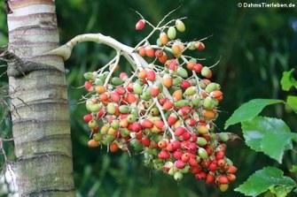 Palmkerne, gesehen auf Praslin