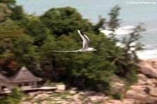 Weißschwanz-Tropikvogel (Phaethon lepturus lepturus) auf Praslin, Seychellen