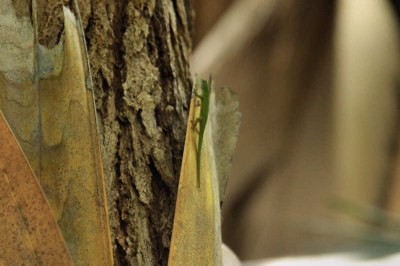 Kleiner Seychellen-Taggecko (Phelsuma astriata astriata) im Vallée de Mai