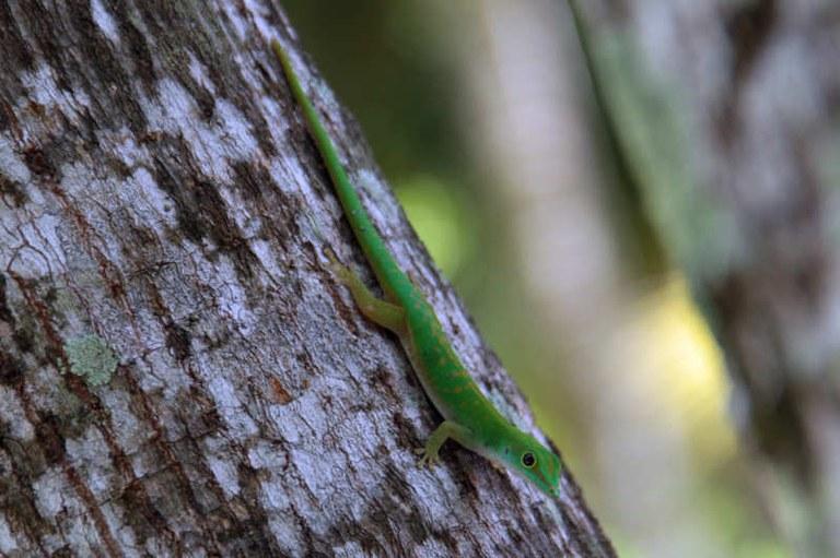 Phelsuma astriata astriata