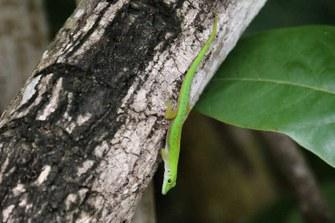 Kleiner Seychellen-Taggecko (Phelsuma astriata astriata)