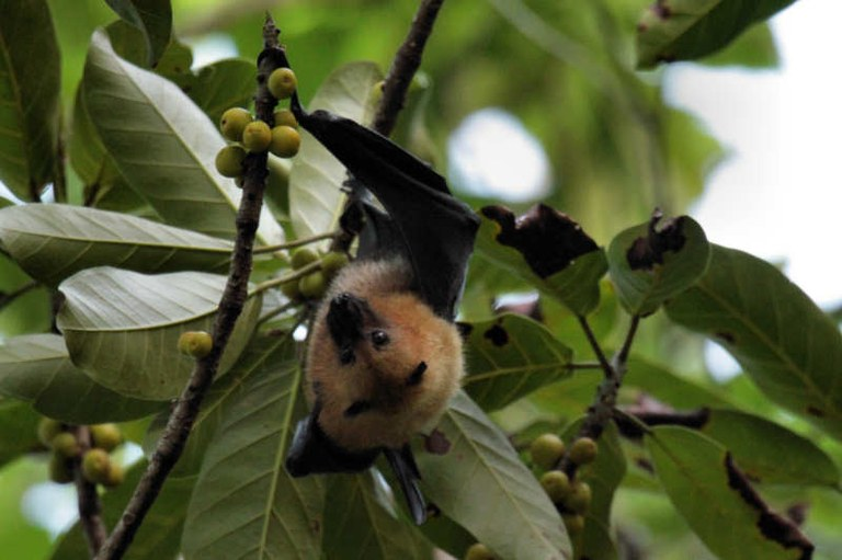 Pteropus seychellensis
