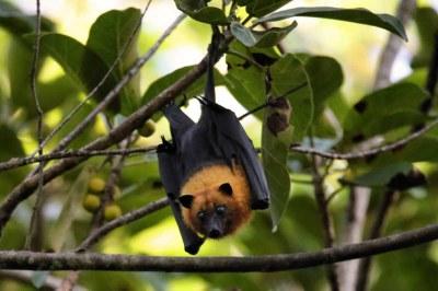 Flughund (Pteropus seychellensis) aus Praslin, Seychellen