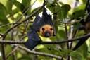 Seychellen-Flughund (Pteropus seychellensis)