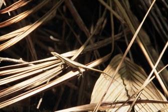 Seychellen Skink (Trachylepis seychellensis) im Vallée de Mai