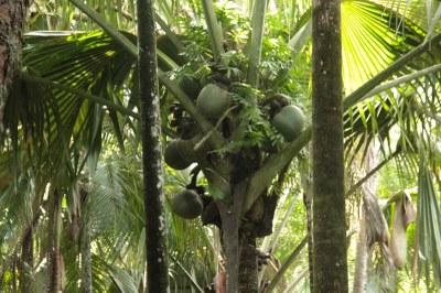 Seychellenpalme (Lodoicea maldivica)