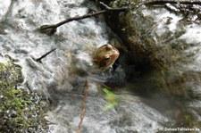 Springfrosch (Rana dalmatina), aufgenommen im Bergischen Land