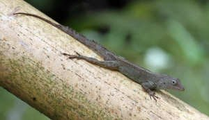 Anolis im El Yunque National Forest