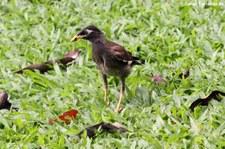 Hirtenmaina (Acridotheres tristis tristis) im Lumphini-Park Bangkok, Thailand