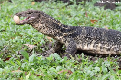 Varanus salvator macromaculatus