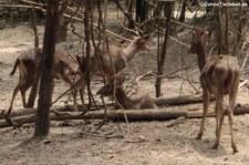 Schweinshirsch (Axis porcinus) in der Wildlife Friends Foundation, Petchaburi, Thailand
