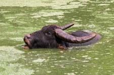 Wasserbüffel (Bubalus arnee) Kanchanaburi, Thailand