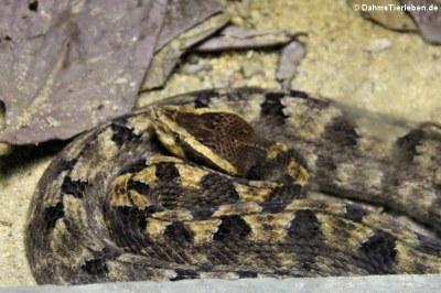 Malayische Mokassinotter (Calloselasma rhodostoma)