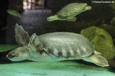 Papua-Weichschildkröte (Carettochelys insculpta) im Dusit Zoo, Bangkok