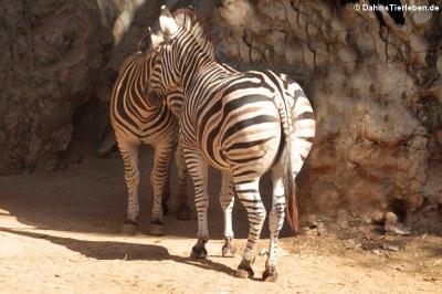 Burchell-Steppenzebras (Equus quagga burchellii)