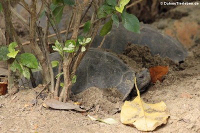 Tempelschildkröten (Heosemys annandalii)