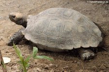 Braune Schildkröte (Manouria emys emys) im Dusit Zoo Bangkok