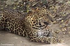 Leopard (Panthera pardus) im Dusit Zoo, Bangkok