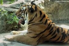 Bengal-Tiger oder Königstiger (Panthera tigris tigris) im Dusit Zoo, Bangkok