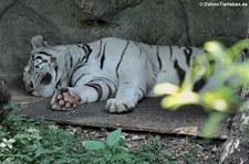 weißer Bengal-Tiger oder weißer Königstiger (Panthera tigris tigris) im Dusit Zoo, Bangkok