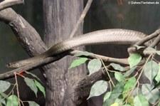 Gebänderte Rattenschlange (Ptyas mucosa) im Dusit Zoo Bangkok