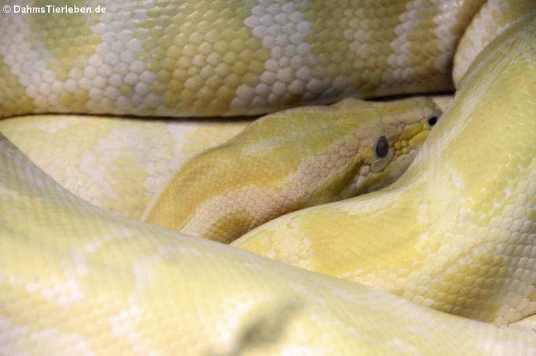Python bivittatus bivittatus