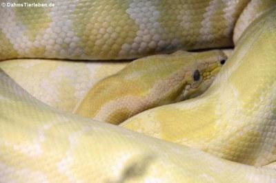 Dunkler Tigerpython - Albino (Python bivittatus bivittatus)