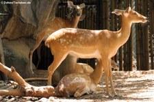 Siam-Leierhirsche (Panolia eldii siamensis) im Dusit Zoo, Bangkok