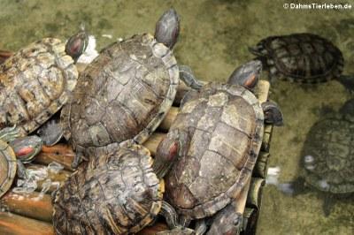 Rotwangen-Schmuckschildkröten (Trachemys scripta elegans)